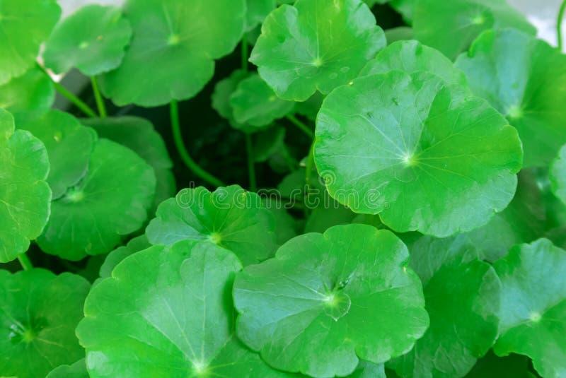特写镜头asiatica的Centella或在罐的gotu可拉树, ayurveda草本 库存照片