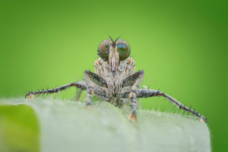 特写镜头Robberfly Promachus 免版税图库摄影
