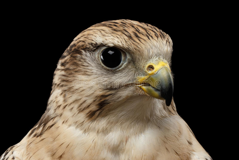 特写镜头Saker猎鹰,游隼科cherrug,隔绝在黑背景 库存图片
