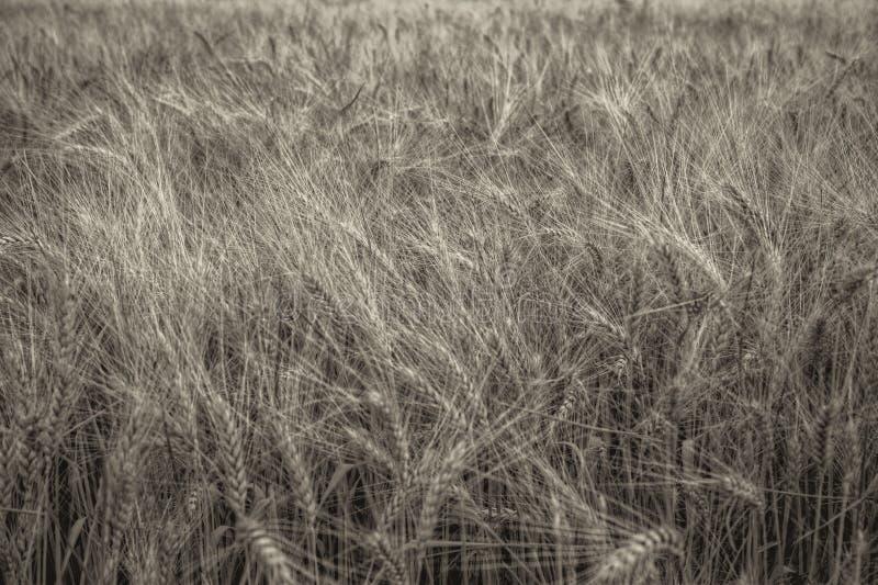特别在领域的麦子 金子颜色 图库摄影