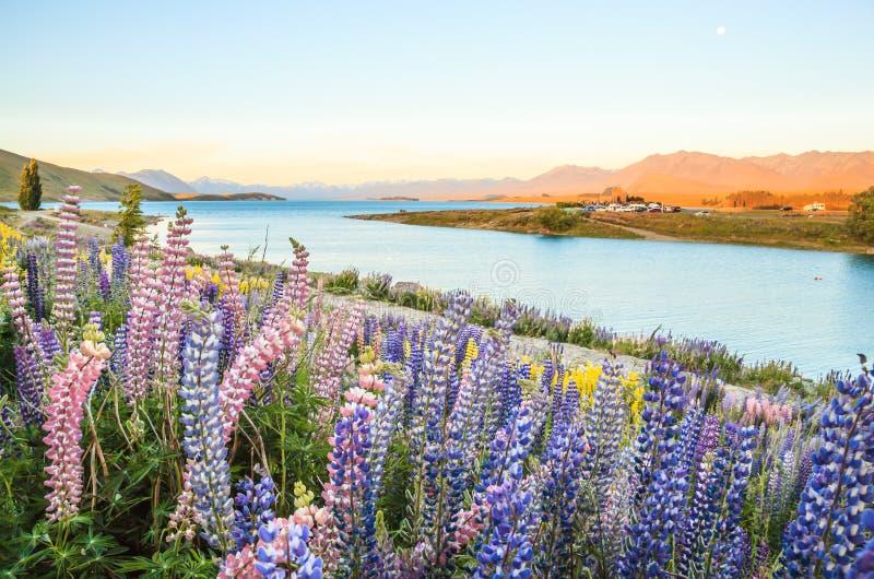 特卡波湖风景和羽扇豆花田,新西兰 五颜六色的羽扇豆在盛开开花有特卡波湖背景  免版税图库摄影