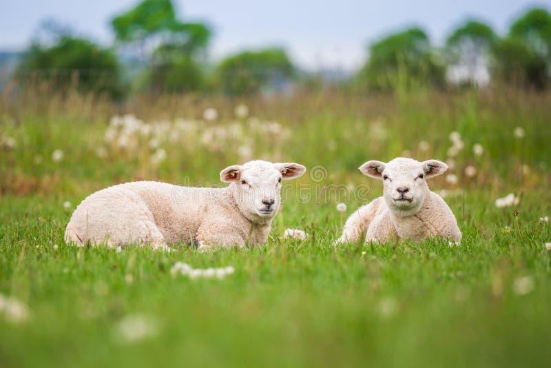 特塞尔母羊,新出生的双羊羔在春天的豪华的绿色草甸 库存图片