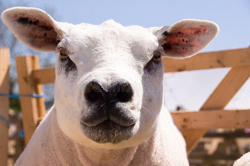 特塞尔绵羊 库存图片