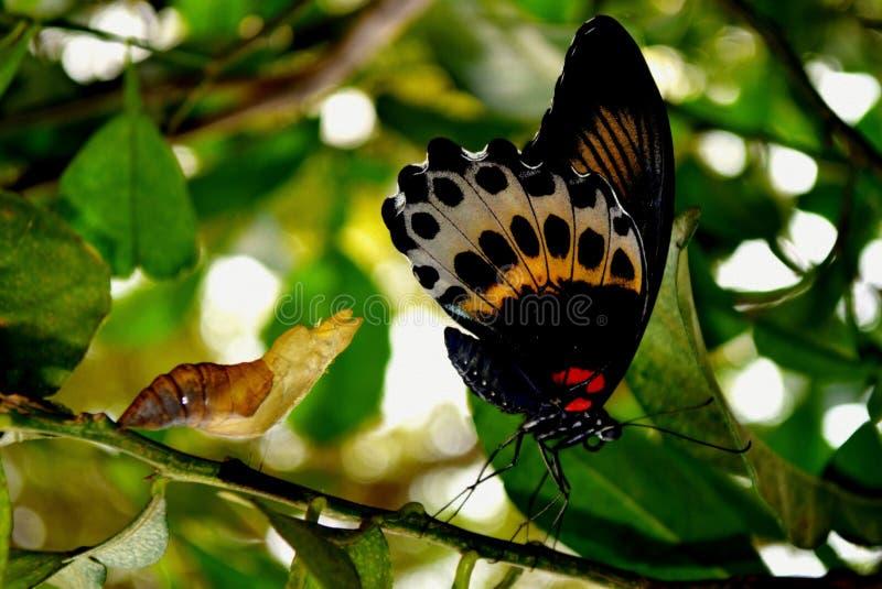 特尔斐,绯红色玫瑰的翻译-蝴蝶,飞过在外形的Vetical 库存图片