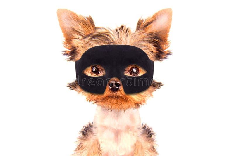 特级英雄小狗 免版税库存照片