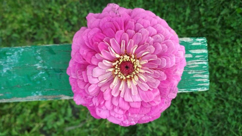 特里桃红色百日菊属花的照片 免版税库存图片