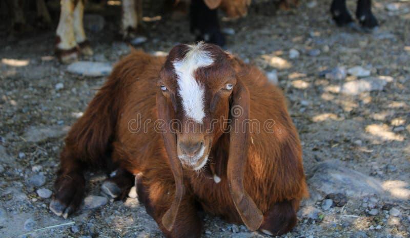 牺牲,土耳其假日宴餐的山羊  免版税库存照片