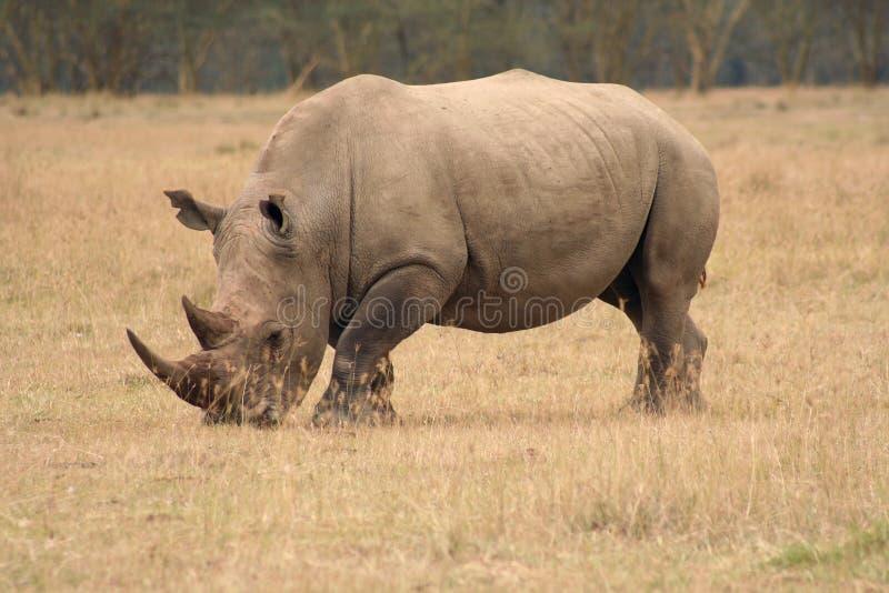 犀牛侧视图白色 免版税库存图片