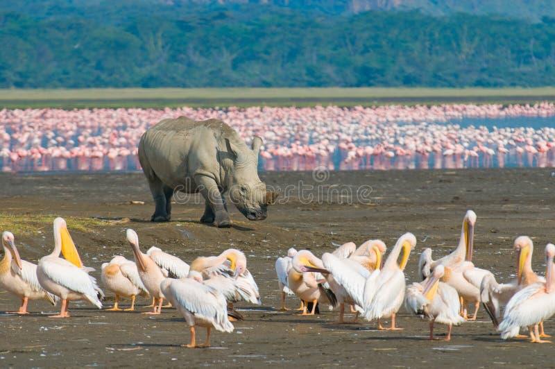 犀牛在湖nakuru国家公园,肯尼亚 免版税图库摄影