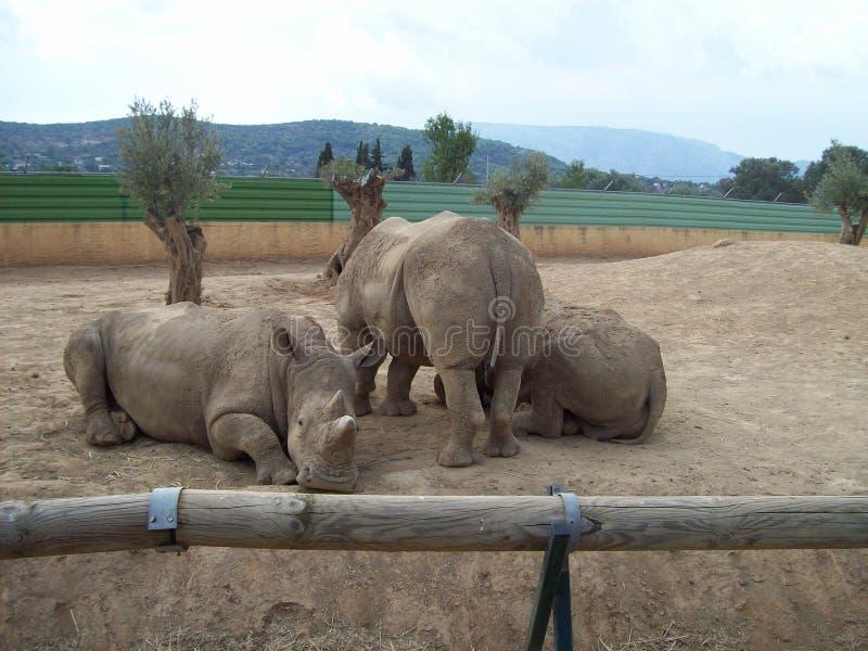 犀牛家庭 免版税图库摄影