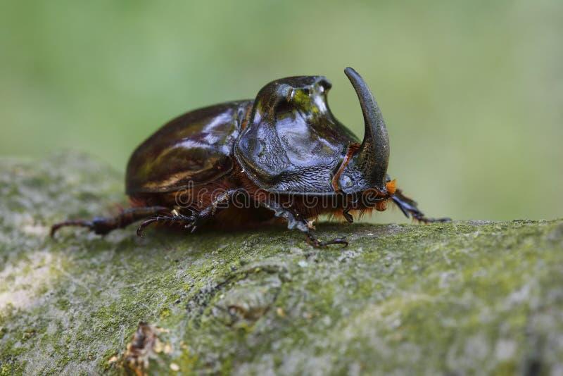 犀牛甲虫 库存图片
