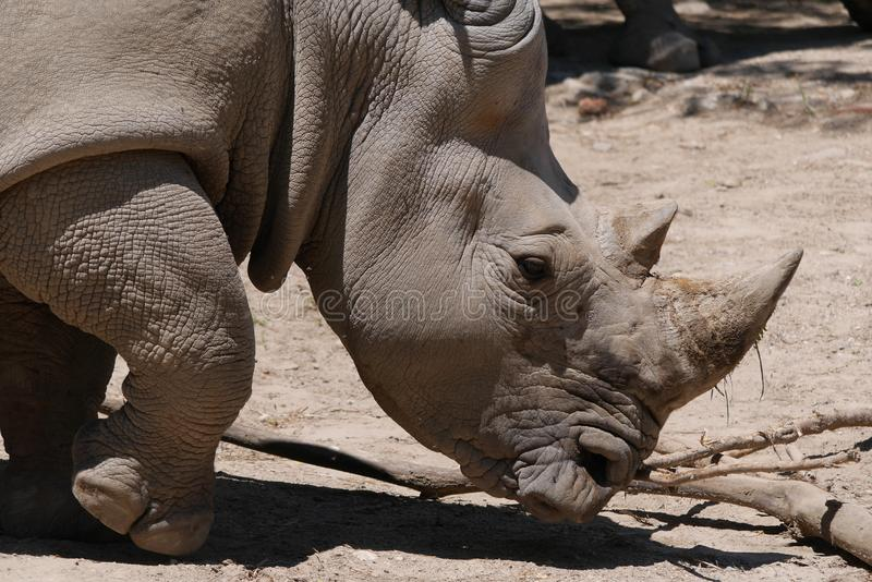 犀牛画象在贫瘠栖所 库存图片
