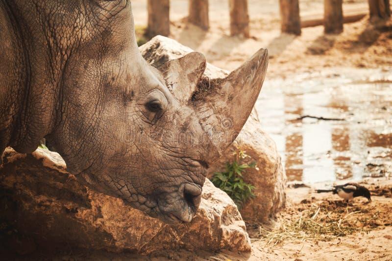 犀牛画象 库存图片