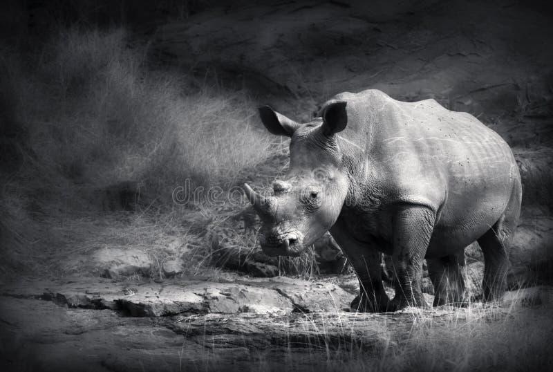 犀牛白色 库存照片