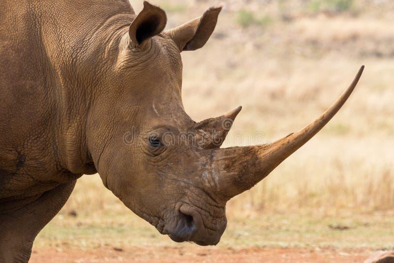 犀牛的画象 免版税库存图片