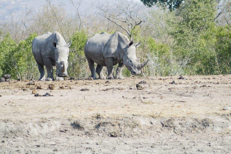 犀牛观察 图库摄影