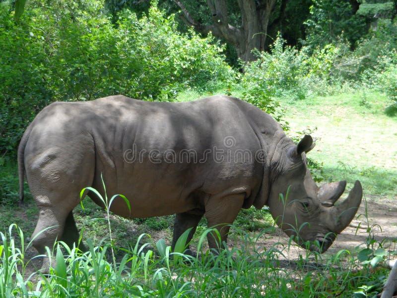 犀牛边姿势 库存照片