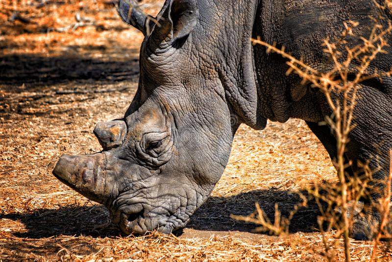 犀牛,犀牛头照片的关闭在塞内加尔,非洲 这是野生生物动物照片 他的垫铁被切除 图库摄影