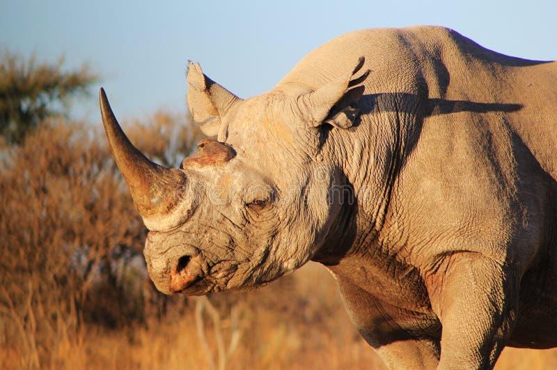 犀牛,黑的危险的非洲哺乳动物 库存照片