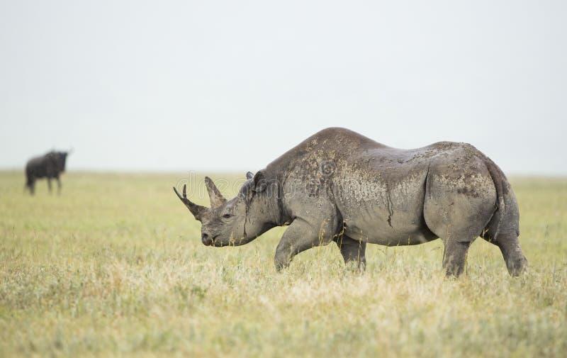 黑犀牛(黑犀属bicornis)在坦桑尼亚 免版税库存图片
