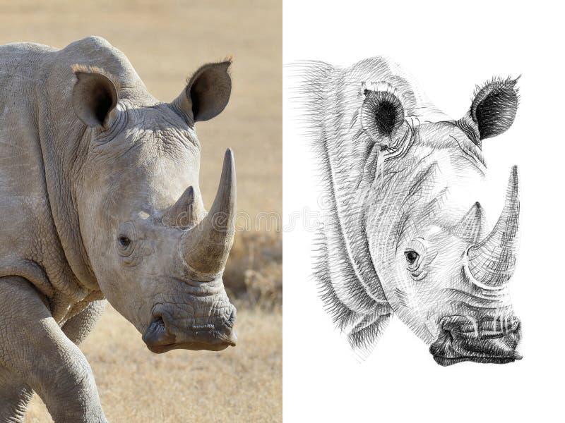 犀牛画象在用手画前后的在铅笔 免版税库存照片
