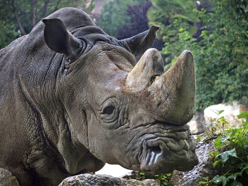 犀牛rinoceronte 免版税库存照片