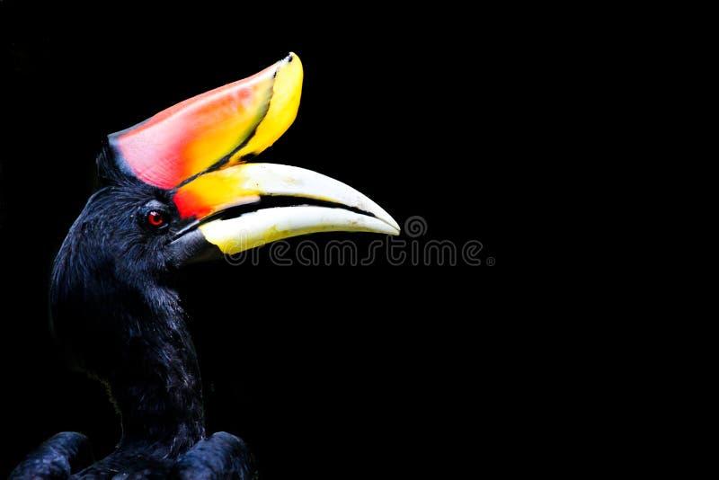 犀鸟 免版税库存照片