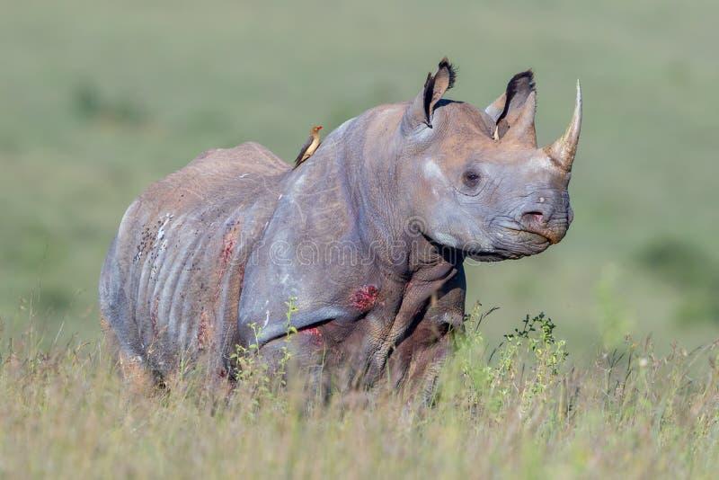 黑犀,内罗毕国家公园,肯尼亚 免版税库存照片