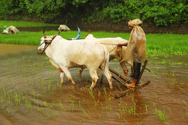犁与一个对的农夫稻田黄牛,在Lavasa附近 免版税图库摄影