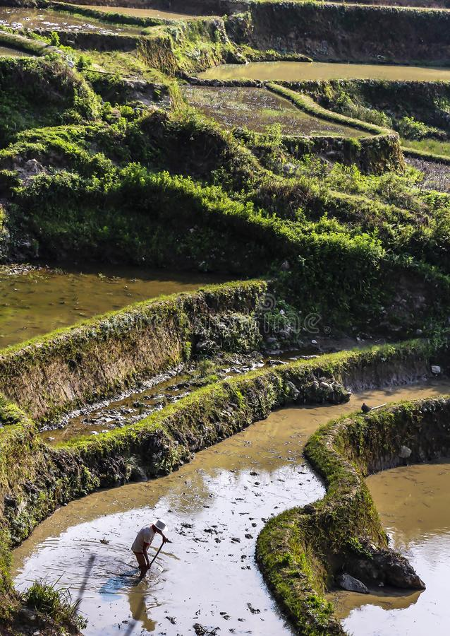 犁和耙松稻田的农夫在原阳米大阳台 库存照片