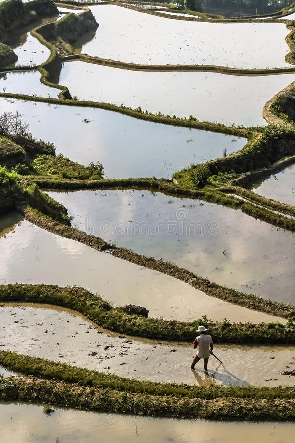 犁和耙松稻田的农夫在原阳米大阳台 图库摄影
