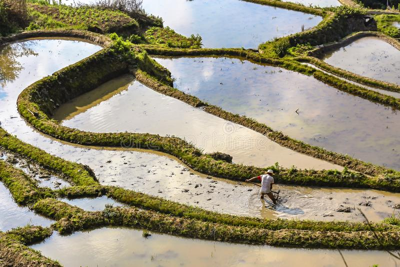 犁和耙松稻田的农夫在原阳米大阳台 库存图片