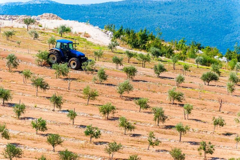 犁橄榄树小树林的拖拉机由海在达尔马提亚 免版税图库摄影