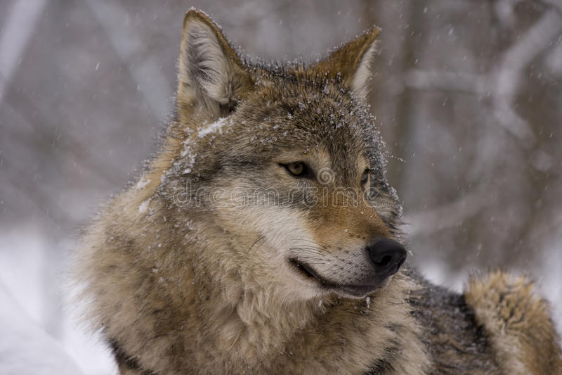 犬属欧洲灰色狼疮狼 免版税库存图片