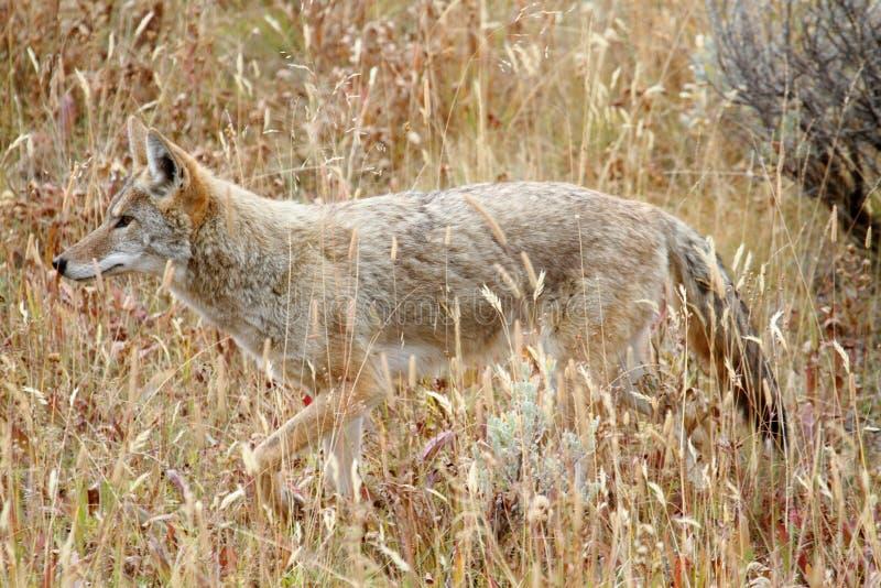 犬属西部土狼的latrans 免版税库存图片