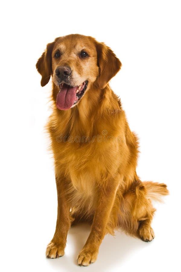 犬属金毛猎犬系列 免版税图库摄影