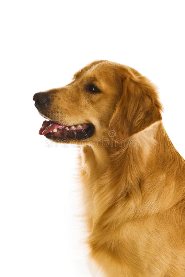 犬属金毛猎犬系列 图库摄影