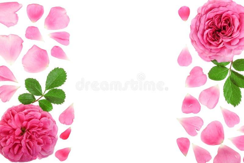 狂放上升了在与拷贝空间的白色背景隔绝的开花的花您的文本的 顶视图 平的位置样式 免版税图库摄影