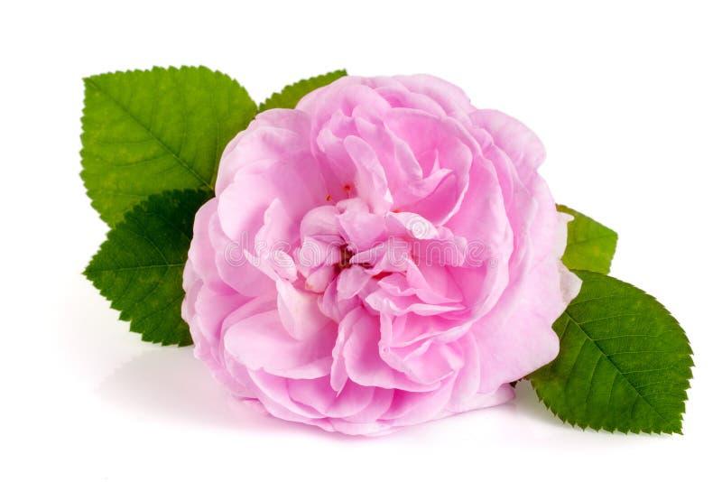 狂放上升了在白色背景隔绝的开花的花 库存照片
