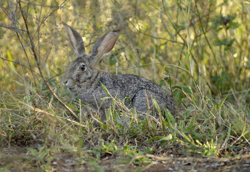 狂放在克留格尔国家公园洗刷野兔 免版税库存照片