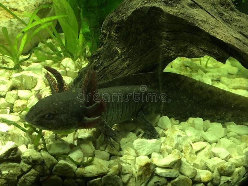 狂放型的蝾螈 库存照片