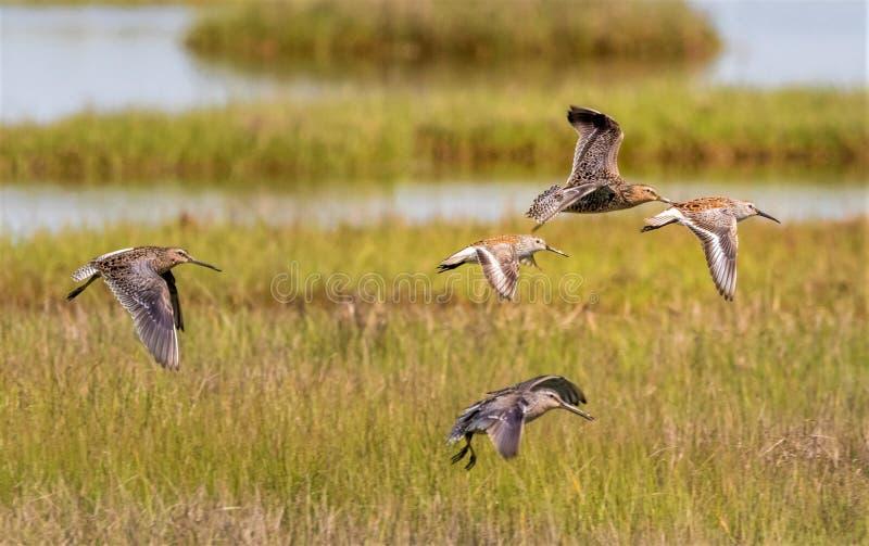 狂放水鸟的飞行 免版税库存图片