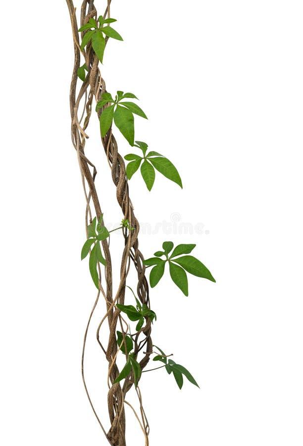 狂放的上升在扭转的密林藤本植物isolat的早晨gloy叶子 库存图片