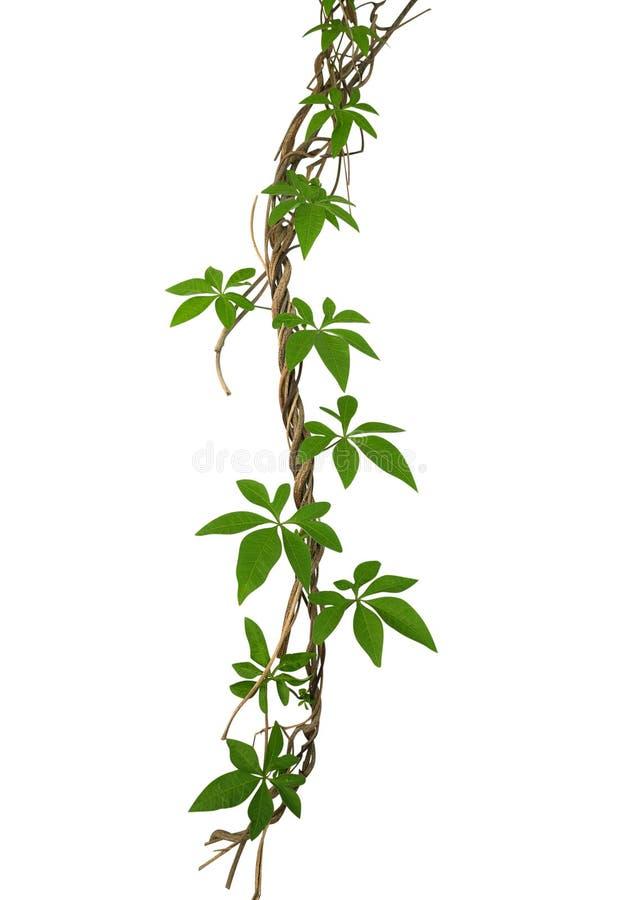 狂放的上升在扭转的密林藤本植物isolat的早晨gloy叶子 免版税库存图片