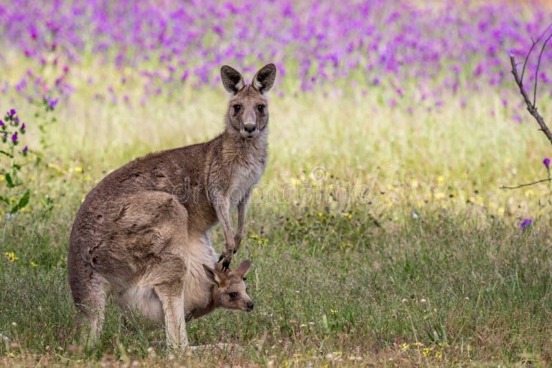 狂放的东灰色袋鼠母亲和Joey,森林地公园,维多利亚,澳大利亚, 2017年11月 免版税图库摄影