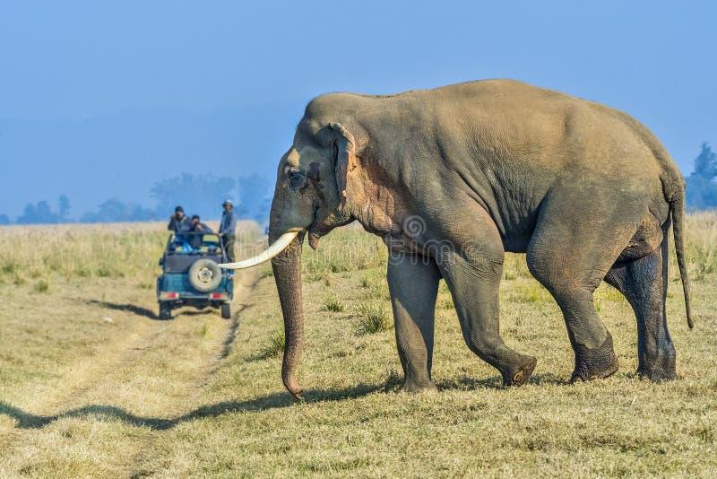 狂放的亚洲男性大象 库存照片