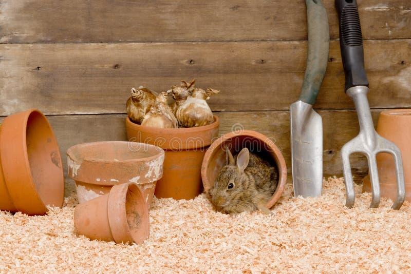 狂放的兔宝宝在装壶棚子 免版税库存图片