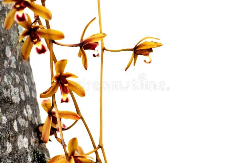 狂放的兰花花被隔绝在白色 库存照片