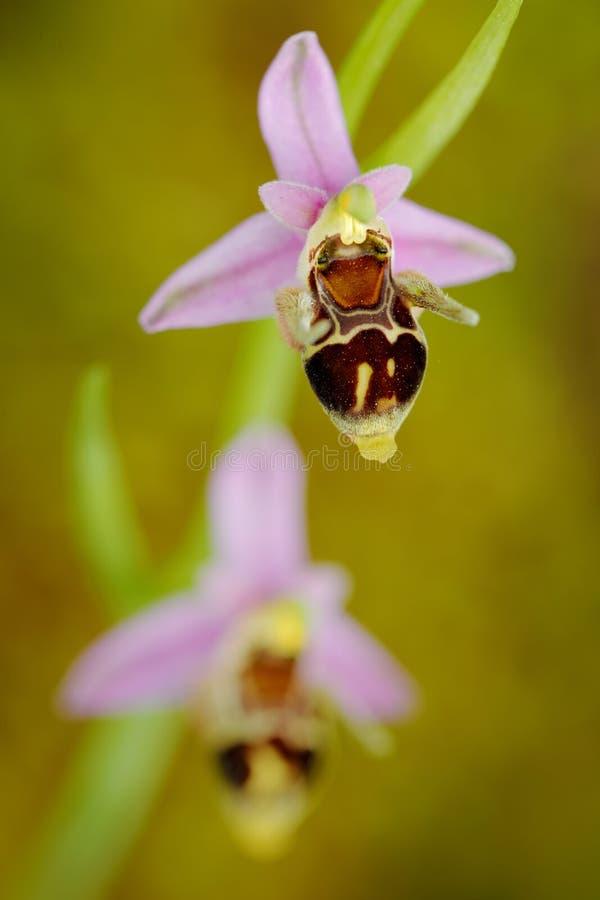 狂放的兰花Ophrys cornuta,开花的欧洲地球野生兰花,自然栖所,绽放细节与绿色明白的 库存照片