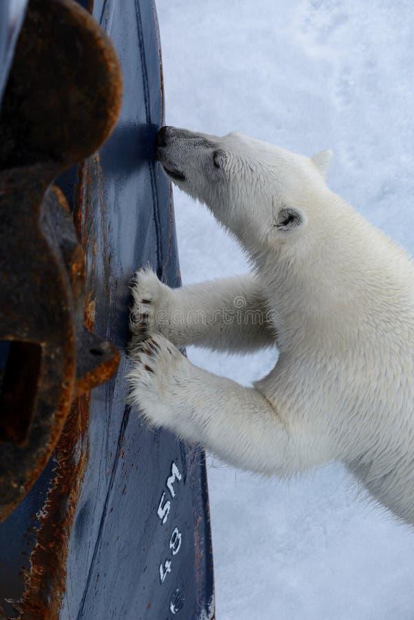 狂放的北极熊在北极设法上升到远征船 免版税库存图片